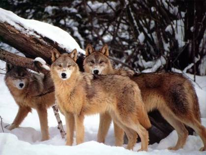 Wolves_001-(1024x768)