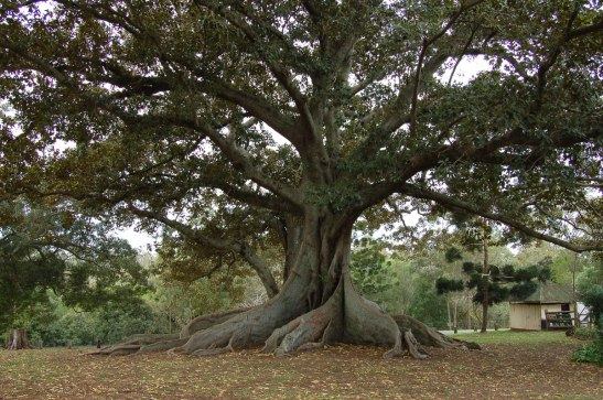 fig-tree1.jpg